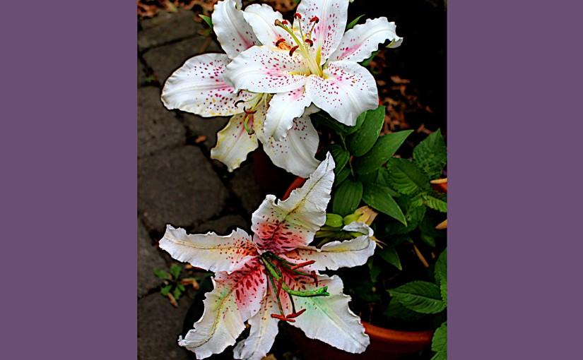 Echte Orientlilien und Krepppapierlilie